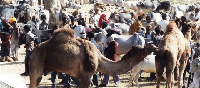 Nagaur Camel and Cattle Fair