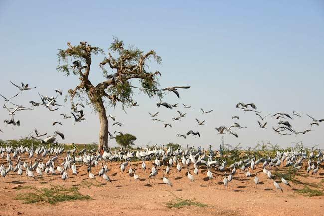 Khichan Bird Sanctuary, Khichan